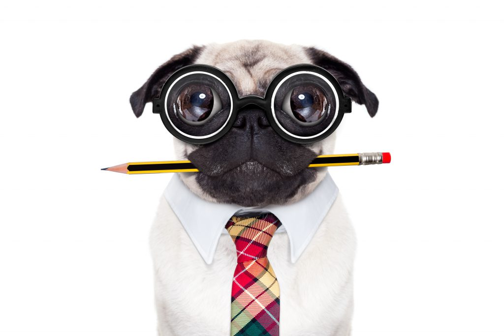 dumb crazy pug dog with nerd glasses as an office business worker with pencil in mouth isolated on white background